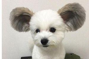 Chó giống chuột Mickey gây 'bão' mạng xã hội
