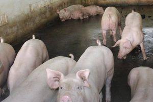 Dịch tả lợn châu Phi ở Cần Thơ vẫn diễn biến khó lường