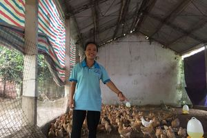 Phát triển kinh tế thành công từ mô hình nuôi gà vi sinh tại Sóc Sơn