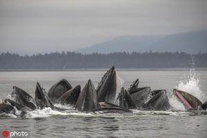 'Băng đảng' cá voi lưng gù giăng lưới săn cá ngoạn mục