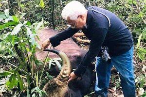 Đồng Nai: Phát hiện bò tót nặng 800kg nằm trong Sách đỏ chết trong rừng