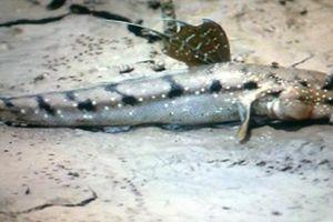 Loài cá kỳ lạ có khả năng trườn bò kiếm ăn trên cạn