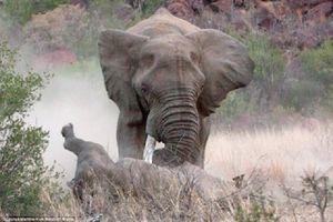 Cận cảnh màn đối đầu giữa voi và tê giác