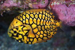Loài cá 'vũ trang' như chiến binh độc đáo ở biển Đông