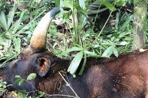 Xác định nguyên nhân chết của cá thể bò tót tại Đồng Nai