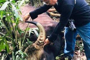 Nguyên nhân bò tót gần 800kg chết trong Khu bảo tồn Đồng Nai