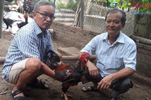 Duy trì, bảo tồn và phát triển giống gà Hồ tiến vua: Đâu là giải pháp?