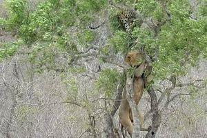 Leo lên cây cướp mồi của báo hoa mai, sư tử đực nhận cái kết đắng