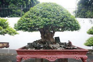 Đại gia Phú Thọ khoe bằng lăng vua Minh Mạng từng chơi giá hàng tỷ đồng