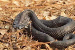 Loạt rắn độc dị nhất, có con bạn chẳng tưởng tượng nổi