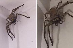 Hốt hoảng với nhện khổng lồ đột nhập nhà dân tại Úc