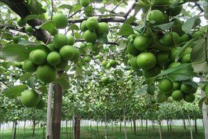 Trồng táo an toàn trong nhà lưới