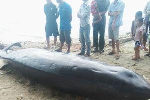 Khánh Hòa: Cá voi nặng hơn 2 tấn, dài gần 6m dạt vào bờ biển