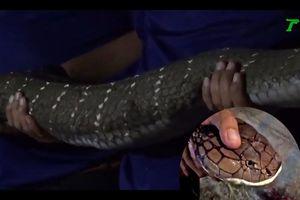 Kinh hoàng phát hiện rắn hổ mang chúa dài 5 mét cần tới 6 người khiêng trong nhà