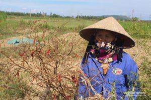 Ớt cay chết khô, lúa nghẽn đòng phải cắt cho trâu ăn vì nắng hạn