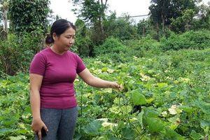 Đắk Lắk: Người dân điêu đứng vì trồng bí không có trái