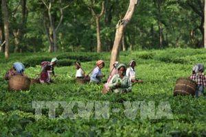 Trà Assam đặc sản của Ấn Độ lập kỷ lục thế giới với giá hơn 1.000 USD/kg