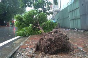 Hàng loạt cây xanh trên phố Hà Nội bật gốc sau bão số 3