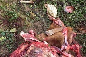 Phẫn nộ kẻ gian xẻ thịt bò mang thai, bê con chết thảm bên cạnh