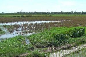 Hà Nam: Nông dân bỏ ruộng không gieo cấy gia tăng