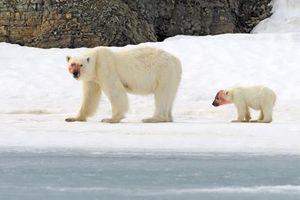 Mẹ con gấu Bắc cực săn giết hải cẩu bê bết máu