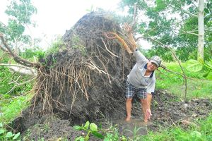 Nông dân thắt lòng nhìn cây trái ngã rạp sau cơn lốc