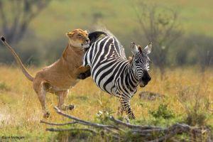 Bị bắt mất con, ngựa vằn mẹ tung liên hoàn cước đá văng sư tử