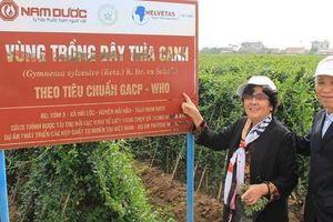 Đột phá mới từ nghiên cứu tác dụng hạ đường huyết của Dây thìa canh Việt Nam