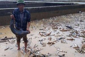 Rớt nước mắt cảnh trại cá tầm 40 tỷ chết trắng vì mưa lũ