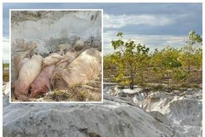Xót xa vì lợn bệnh, dân mất thêm tiền tiêu hủy: Trả gấp lại tiền cho người chăn nuôi