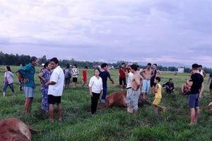 4 con bò của một hộ dân bị sét đánh chết