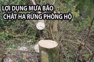 Lợi dụng mưa bão, thuê người đến chặt hạ rừng phòng hộ tại Đà Lạt