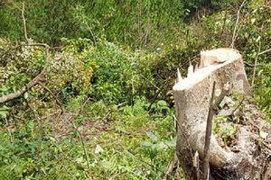 Triệu tập kẻ chủ mưu thuê 11 người phá rừng ở Lâm Đồng