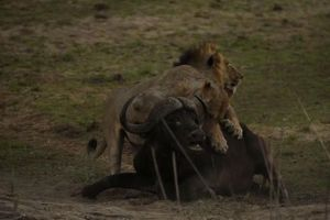 Trâu rừng tử chiến trước 3 con sư tử đực