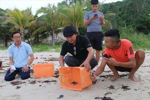 Ngàn ngày đưa rùa về biển Cù Lao Chàm: Kỳ tích trên bãi Bấc