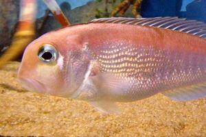 Khám phá cá nàng đào dễ nhiễm độc thủy ngân, có ở Việt Nam