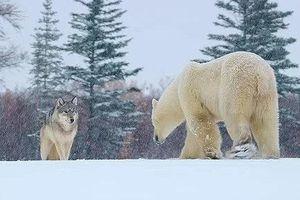 Cả gan săn gấu Bắc Cực, đàn chó sói bị đuổi ngược