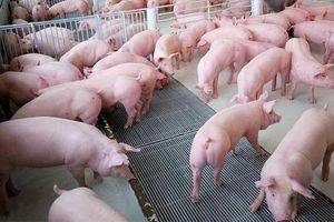 Chế phẩm sinh học trong chăn nuôi ngăn chặn dịch tả lợn Châu Phi