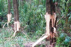 Chủ tịch xã bị tố chặt phá rừng cây của dân: Kết luận chính thức