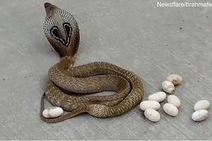 Chuyện thật như đùa: Rắn hổ mang ngẫu hứng đẻ trứng trên đường phố