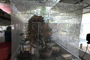 Nông dân Thanh Hóa lãi lớn nhờ... nuôi ruồi đẻ trứng 'vàng'