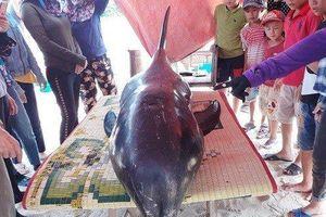 Cận cảnh cá voi dài hơn 2m, nặng 150kg 'mắc cạn' vào bờ biển Hà Tĩnh