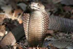 Top rắn độc lạ nhất, người giỏi cũng khó lý giải