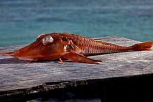 Loài cá vô cùng dị biệt, cực quý hiếm ở Việt Nam