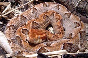 Người đàn ông tử vong sau 10 phút do rắn cực độc cắn