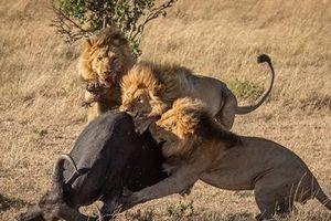 Trâu rừng mang thai trơ trọi đối đầu bầy sư tử đói