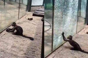 Khỉ thầy tu thông minh khiến con người sợ hãi 'bội phục'