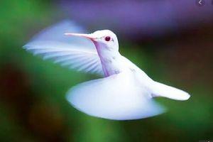Chim ruồi bạch tạng cực hiếm bất ngờ xuất hiện ở Mỹ
