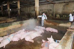 Huế: Dịch tả lợn châu Phi 'càn quét' hơn 100 xã