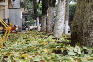 Hàng cây sưa tiền tỷ rụng lá như mưa, người dân hoang mang tìm lý do